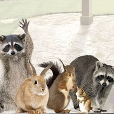 animals raccoons weasels friends - photo #49